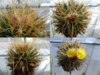 レウクテンベルギア属 光山(こうざん)Leuchtenbergia principis 2011.09.29~10.03蕾~開花まで