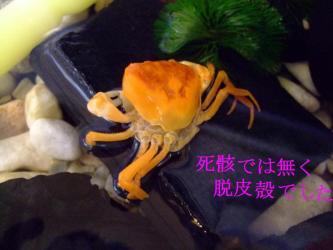 鮮やかなオレンジ色の沢蟹脱皮抜け殻ww死骸でなくて抜け殻でした~イェイ2011.10.03