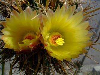 レウクテンベルギア属 光山(こうざん)Leuchtenbergia principis 2011.10.03.開花
