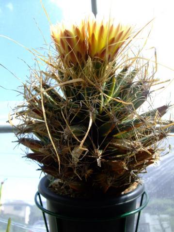 レウクテンベルギア属 光山(こうざん)Leuchtenbergia principis 2011.10.03