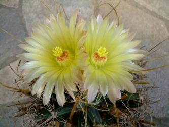 レウクテンベルギア属 光山(こうざん)Leuchtenbergia principis 2011.10.04全開花!