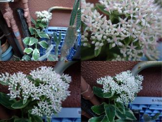 セダム 白斑ベンケイソウ (Sedum alboroseum f.variegata)2011.10.04~開花