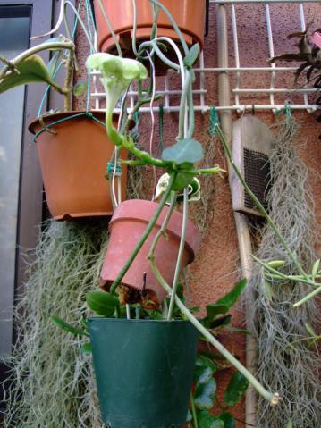 セロペギア サンダーソニー(Ceropegia sandersonii)の大きな花~パラシュートプランツ!2011.10.08