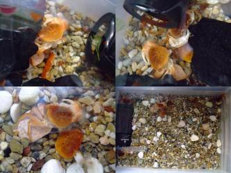 水槽の中で見分けの付かない脱皮殻が漂っています!みんなで殻を食べてカルシューム補給しているようです!2011.10.07