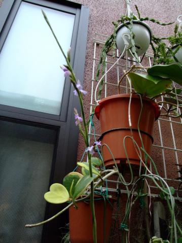 ティランジア ドゥラティー(Tillandsia duratii)~なんともいえない甘い香り~少し開花し始めました!2011.10.11