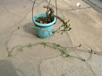 セロペギア属 アルマンディー (Asclepiadaceae Ceropegia armandii ) 元は木ですが次第に蔓になりました!楽しい花も咲いています!2011.10.18