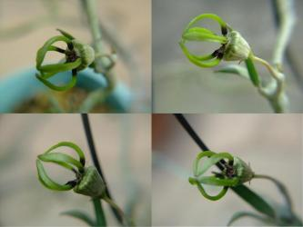 セロペギア属 アルマンディー (Asclepiadaceae Ceropegia armandii ) 楽しい落下傘のような花~小さいです!2011.10.18