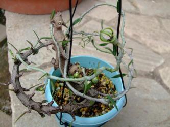 セロペギア属 アルマンディー (Asclepiadaceae Ceropegia armandii ) 全体像はこんな感じ~蔓です!