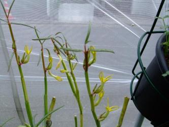 セロペギア・ディコトマ、パリエガータ(斑入り)(Ceropegia dichotoma)今年も咲いています!黄色い花がキレイです!2011.10.18