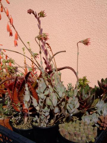 カランコエ 白蝶舞(はくちょうまい)Kalanchoe rotundifolia 2011.10.31