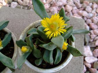 プレイオスピロス 陽光/カヌス (Pleiospilos compactus ssp. canus) 2011.11.03