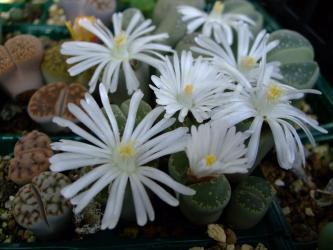 リートープス 青磁玉(Lithops helmutii)白花~2011.11.02