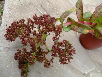 クラッスラ アルバ(Crassula alba var. parvisepala )花はそのまま枯れ気味で黒くなってきました!2011.11.05