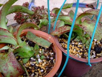 クラッスラ アルバ(Crassula alba var. parvisepala )1株づつに植え替えて様子をみます!花芽を切ろうか残そうか・・・考え中!2011.11.05