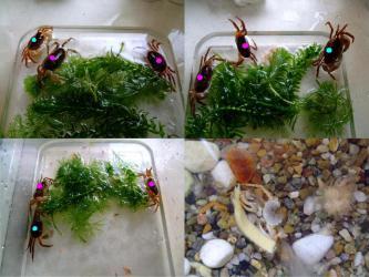 沢蟹ちゃん達~10日振りに水槽水入れ替え~・・・A棟オス1匹死亡・・・合計9匹に・・・ああ゛~・・・