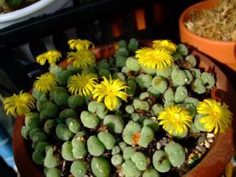 コノフィツム オビゲルム(Conophytum meyeri 'ovigerum)2011.11.17
