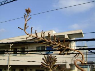 カランコエ 錦蝶(キンチョウ) (Kalanchoe tubiflora?Kalanchoe delagoensis) 蕾ができ始めました!2011.11.14