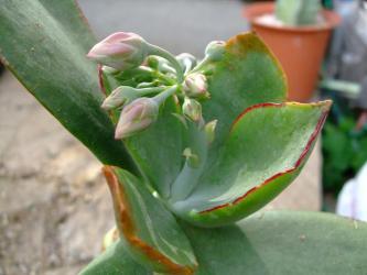 コチレドン 紅覆輪(ベニフクリン)Cotyledon macrantha var. virescens~蕾ができました!2011.11.21