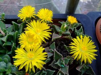 葉物メセン フォーカリア(Faucaria)大輪黄色花いろいろ~2011.11.17