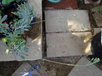 セネシオ マサイの矢尻(Senecio kleiniiformis)花茎長過ぎ~30cmくらいあります。2011.11.21