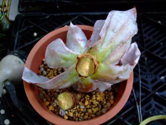 エケベリア アフターグロー(Echeveria subrigida cv. Afterglow)・・・気が付いたら!胴切していました!2011.11.20