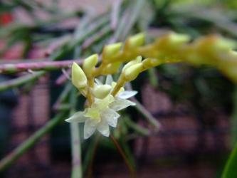 デンドロキラム コビアナム(Dendrochilum cobbianum) クリーム白花~北側玄関通路にて咲いていました!2011.12.04