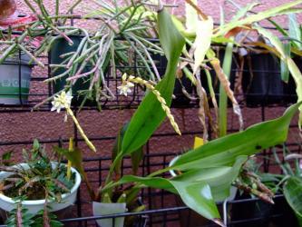 デンドロキラム コビアナム(Dendrochilum cobbianum) 北側玄関通路にて咲いていました!2011.12.04