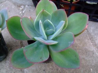 エケベリア 白鳳(Echeveria cv. HAKUHOU) 緑っぽいハクホウチョット変ってます!2011.12.06
