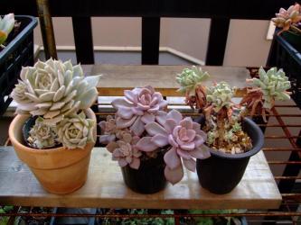 左~エケベリア デレッセーナ(Echeveria deresseana)・中央~グラプトベリア デビー(×Graptoveria cv.'Debbie') ・右~エケベリア ルンヨニー トップシータービー(Echeveria runyonii'Topsy Turvy')2011.