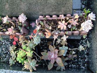 お墓参りに行きました。密かに多肉植物の寄せ植え紅葉中♪2011.12.07