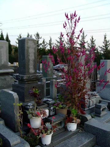 お墓参りに行きました。生花こぼれ種でケイトウの木がツリーになってビックリです!密かに多肉植物の寄せ植え紅葉中♪2011.12.07