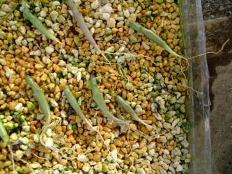ガガイモ科 カラルマ属 アドセンデス(Caralluma adscendens)2011.08.01種蒔き~2011.12.12~抜いてみたらこんな根が生えていました!