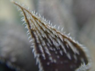 ハオルチア 白黒絵巻NA ウイミー x ベヌスタ(Haworthia SHIROKURO EMAKI N-A wimii x venusta)2011.12.19