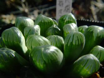 ハオルチア オブツーサ(Haworthia obtusa)ノギのほぼないタイプ?光を当てると窓がツルツルにみえました。2011.12.15
