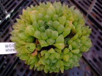 ハオルチア 窓の白点が白く光って見える光るオブツーサ(Haworthia hybrid)=雪の花×オブツーサ2011.12.22