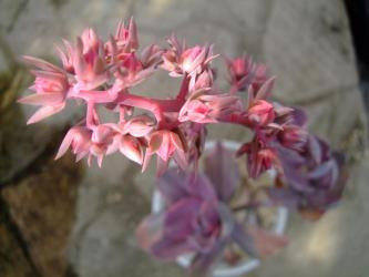 エケベリア デコラ (Echeveria cv. Decora)花芽をあげています。咲いてる?2011.12.23