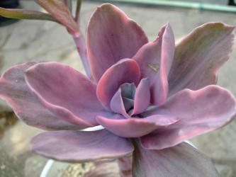 エケベリア デコラ (Echeveria cv. Decora)しっかり刷り斑です!2011.12.23