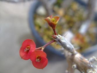 ハナキリン(Euphorbia milii var. splendens)落葉しても赤花が鮮やか~細幹タイプ2011.12.25