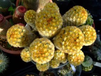 マミラリア 赤刺カルメナエ (Mammillaria carmenae)真上からは丸いです。 2012.01.20