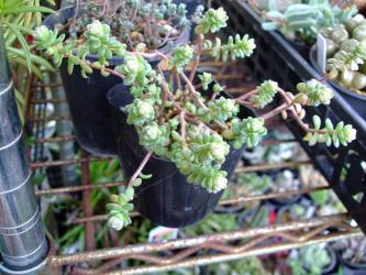 セダム 粉雪(Sedum oaxacanum) 2011.12.30
