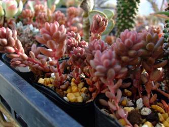 セダムホワイトストーンクロップ(Sedum Whitestone Crop) 2011.12.30