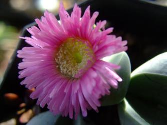 アルギロデルマ ビレッティー水滴玉(すいてきぎょく)(Argyroderma villetii)小型群生種2011.12.31