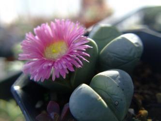 アルギロデルマ ビレッティー水滴玉(すいてきぎょく)(Argyroderma villetii)薄ピンク花~小型群生種2011.12.31