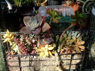 多肉植物寄せ植え~バイネシー・メイゲツ・星の王子・数珠星・久米舞い・タマバ・などなど~