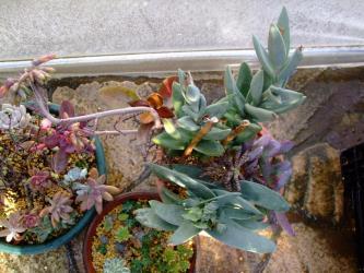 ■多肉植物~カランコエ・クラッスラ~神刀・尖刀・黒蝶・クラシハマタ・金の卵~仕立て直し寄せ植え2012.01.04作成