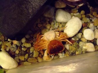 沢蟹さんの交尾!メスがひっくり返されて腹蓋が開いています><下、オスはメスの腹蓋の中に腹蓋が入っているように見えます?上2012.01.08(深夜)