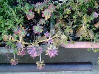 黒錦蝶と一緒に屋外プランター内・・・ヤコブセニー(セネシオ)・・・溶けていました。2012.01.11