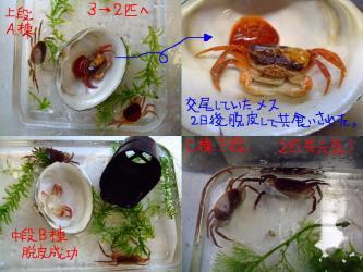 沢蟹さん水槽の掃除&点呼~2012.01.10