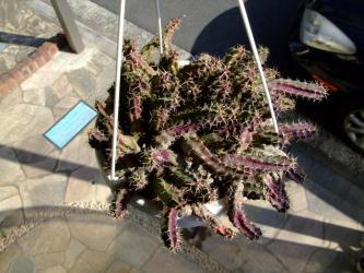 エキノケレウス  美花角(びかかく)(Echinocereusu pentalophus)  真冬の蝦サボ~日に当たり紫色に紅葉中~2012.02.01