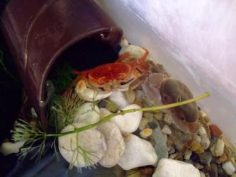 沢蟹C棟オス脱皮しました・・・足が既に減っています・・・共食いされたようです・・・急いで隔離~2012.01.30